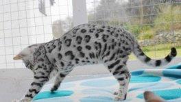 Bengal Kätzchen und F1 Savannah Kätzchen zu verkaufen.